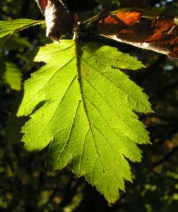 Image: Turkestanische Mehlbeere Blatt grün Frucht rot    Sorbus turcestanica