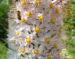 Zurück zum kompletten Bilderset Turkestanische Steppenkerze Blüte weiß Eremurus robustus