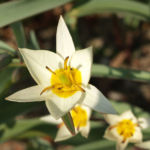 Turkmenistanische Wildtulpe Bluete hellgelb Tulipa turkestanica 02