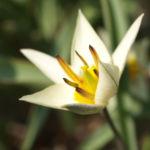 Turkmenistanische Wildtulpe Bluete hellgelb Tulipa turkestanica 03