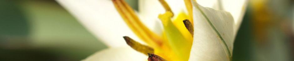 turkestanische-tulpe-bluete-hellgelb-tulipa-turkestanica