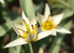 Turkmenistanische Wildtulpe Bluete hellgelb Tulipa turkestanica 05