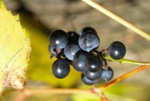Ufer Rebe Wein Blatt Frucht blauschwarz Vitis riparia 01