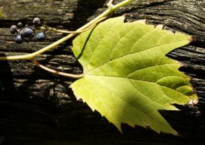 Ufer Rebe Wein Blatt Frucht blauschwarz Vitis riparia 02