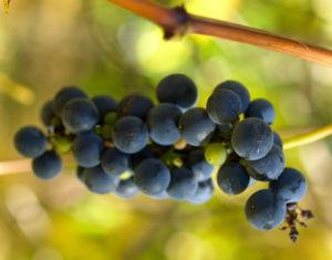 Ufer Rebe Wein Blatt Frucht blauschwarz Vitis riparia 03