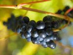 Ufer Rebe Wein Blatt Frucht blauschwarz Vitis riparia 05