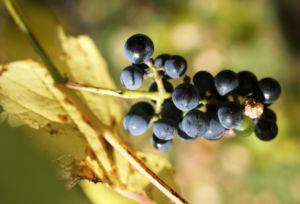 Ufer Rebe Wein Blatt Frucht blauschwarz Vitis riparia 06