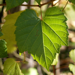 Ufer Rebe Wein Blatt Frucht blauschwarz Vitis riparia 07