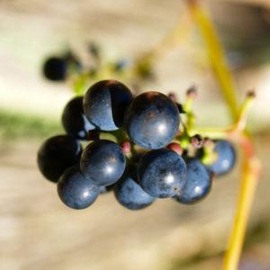 Ufer Rebe Wein Blatt Frucht blauschwarz Vitis riparia 08