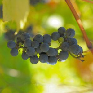 Ufer Rebe Wein Blatt Frucht blauschwarz Vitis riparia 10