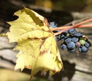 Ufer Rebe Wein Blatt Frucht blauschwarz Vitis riparia 11