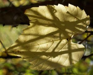 Ufer Rebe Wein Blatt Frucht blauschwarz Vitis riparia 12