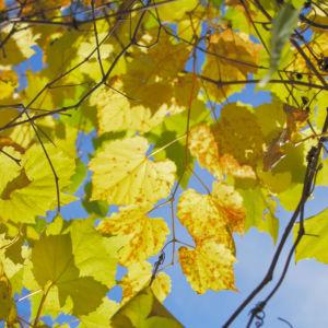 Ufer Rebe Wein Blatt Frucht blauschwarz Vitis riparia 13