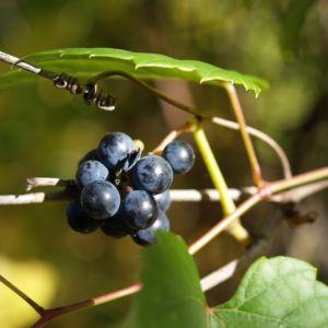 Bild: Ufer Rebe Wein Blatt Frucht blauschwarz Vitis riparia