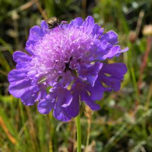 Ungarische Witwenblume Bluete lila Knautia drymeia 24