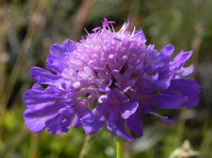 Ungarische Witwenblume Bluete lila Knautia drymeia 25