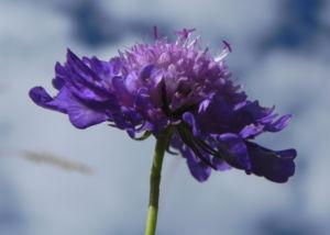 Ungarische Witwenblume Bluete lila Knautia drymeia 27