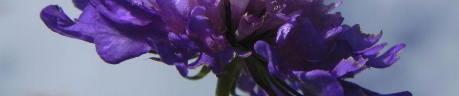 ungarische-witwenblume-bluete-lila-knautia-drymeia