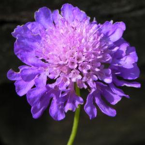 Ungarische Witwenblume Bluete lila Knautia drymeia 29