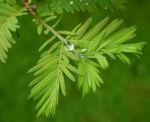 Urweltmammutbaum Nadel gruen Metasequoia glyptostroboides 02