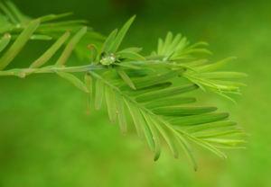 Urweltmammutbaum Nadel gruen Metasequoia glyptostroboides 03