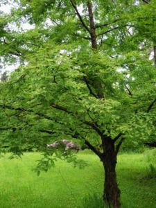 Urweltmammutbaum Nadel gruen Metasequoia glyptostroboides 05