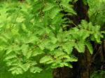 Urweltmammutbaum Nadel gruen Metasequoia glyptostroboides 06