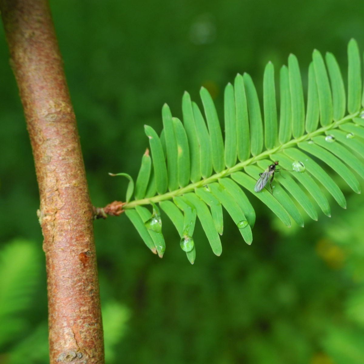 Urweltmammutbaum Nadel gruen Metasequoia glyptostroboides