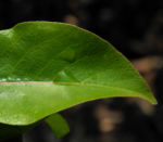 Ussuri Birne Baum Blatt gruen Pyrus ussuriensis 03