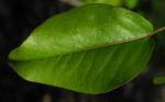Ussuri Birne Baum Blatt gruen Pyrus ussuriensis 05