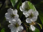 Ussuri Birne Baum Bluete weiss Pyrus ussuriensis 03