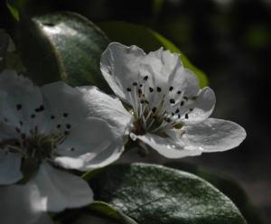 Ussuri Birne Baum Bluete weiss Pyrus ussuriensis 06