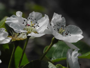 Ussuri Birne Baum Bluete weiss Pyrus ussuriensis 07
