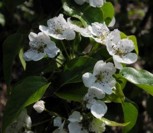 Ussuri Birne Baum Bluete weiss Pyrus ussuriensis 09