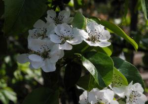 Ussuri Birne Baum Bluete weiss Pyrus ussuriensis 10