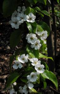 Ussuri Birne Baum Bluete weiss Pyrus ussuriensis 11