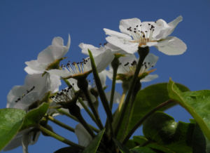 Ussuri Birne Baum Bluete weiss Pyrus ussuriensis 12