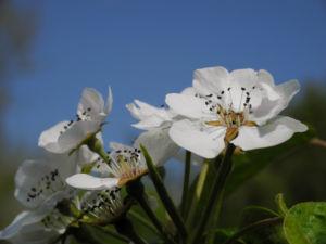 Ussuri Birne Baum Bluete weiss Pyrus ussuriensis 13