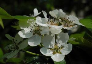 Ussuri Birne Baum Bluete weiss Pyrus ussuriensis 14