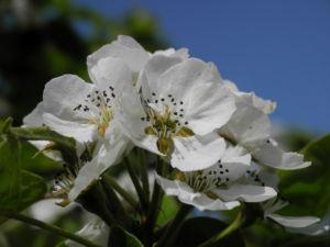 Ussuri Birne Baum Bluete weiss Pyrus ussuriensis 17