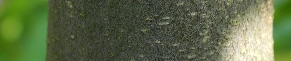 Anklicken um das ganze Bild zu sehen Ussuri-Birne Baum Blüte weiß Pyrus ussuriensis