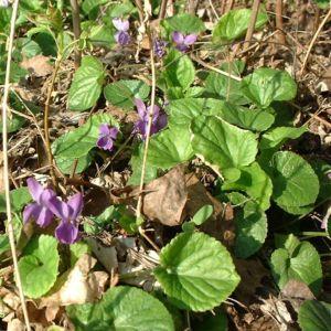 Veilchen wohlriechend Viola odorata 01