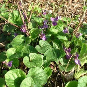 Veilchen wohlriechend Viola odorata 03