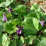 Bild: Wohlriechendes Veilchen Blüte lila Viola odorata