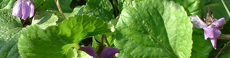 Anklicken um das ganze Bild zu sehen Wohlriechendes Veilchen Blüte lila Viola odorata