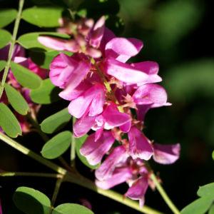 Verschiedenbluetiger Indigo Strauch Bluete pink Indigofera heterantha 01
