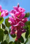 Verschiedenbluetiger Indigo Strauch Bluete pink Indigofera heterantha 02