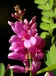 Bild: Verschiedenblütiger Indigostrauch Blüte pink Indigofera heterantha