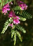 Verschiedenbluetiger Indigo Strauch Bluete pink Indigofera heterantha 06