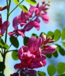 Verschiedenbluetiger Indigo Strauch Bluete pink Indigofera heterantha 07